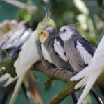 Ferne Animal Sanctuary cockatiels on a branch