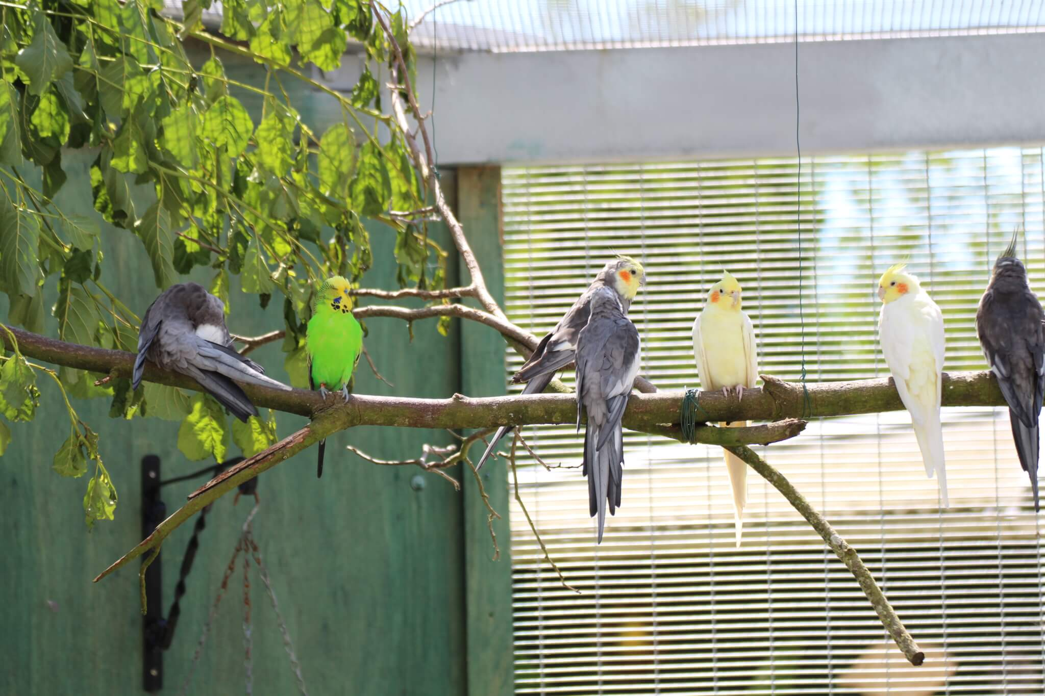 Ferne Animal Sanctuary cockatiels in an aviary