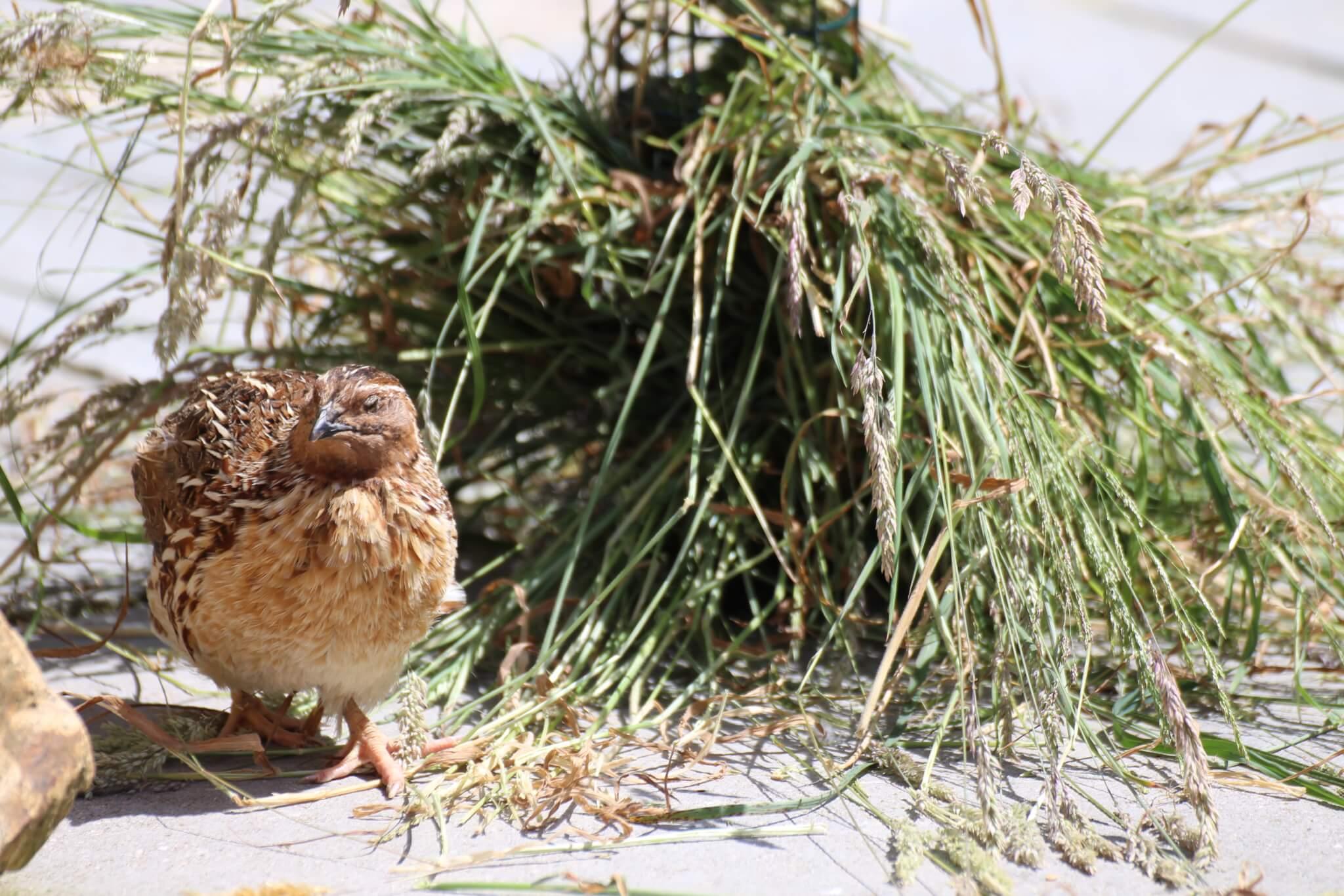 Ferne Animal Sanctuary quail on the ground
