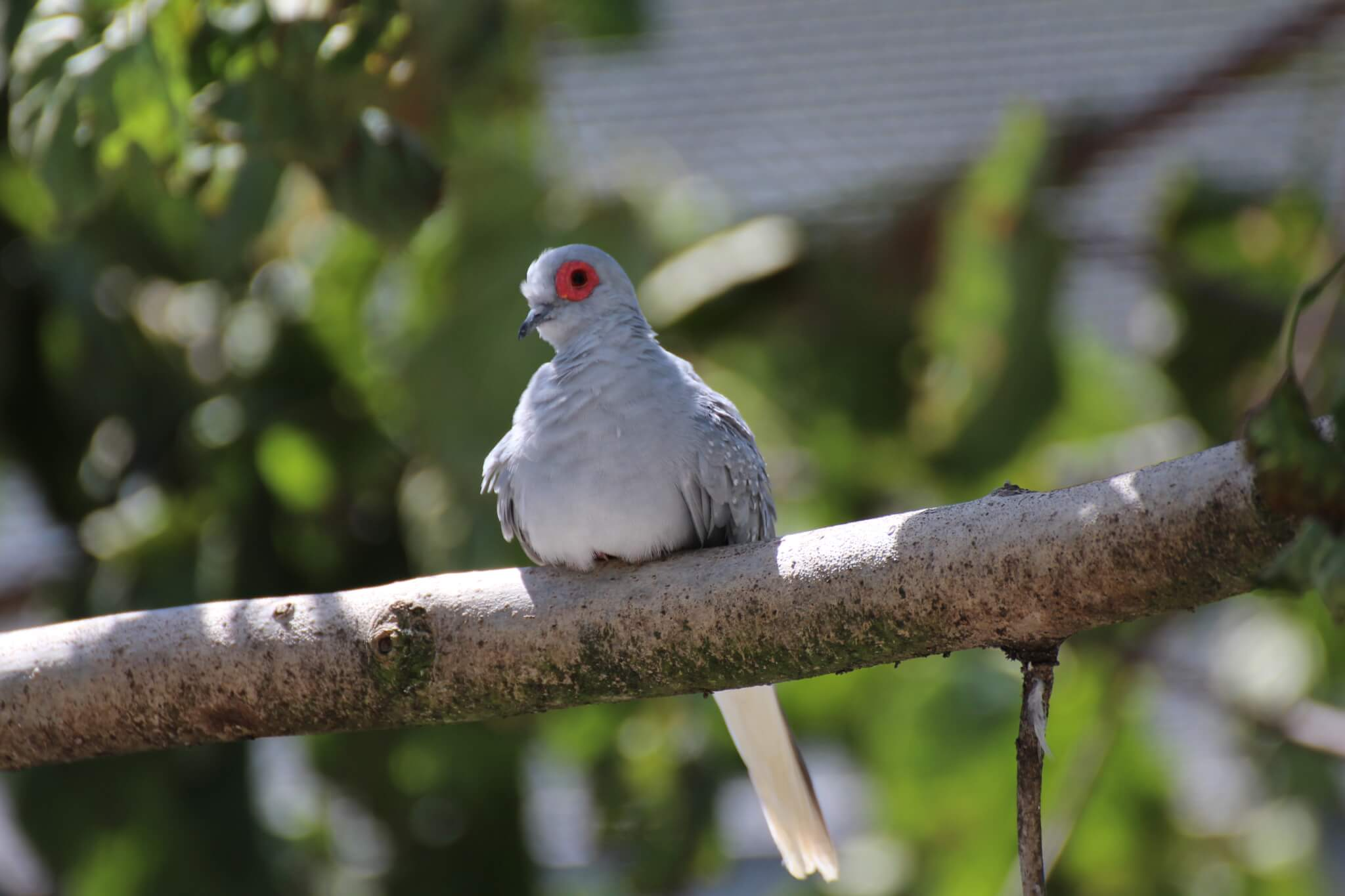 Ferne Animal Sanctuary Red eyed dove