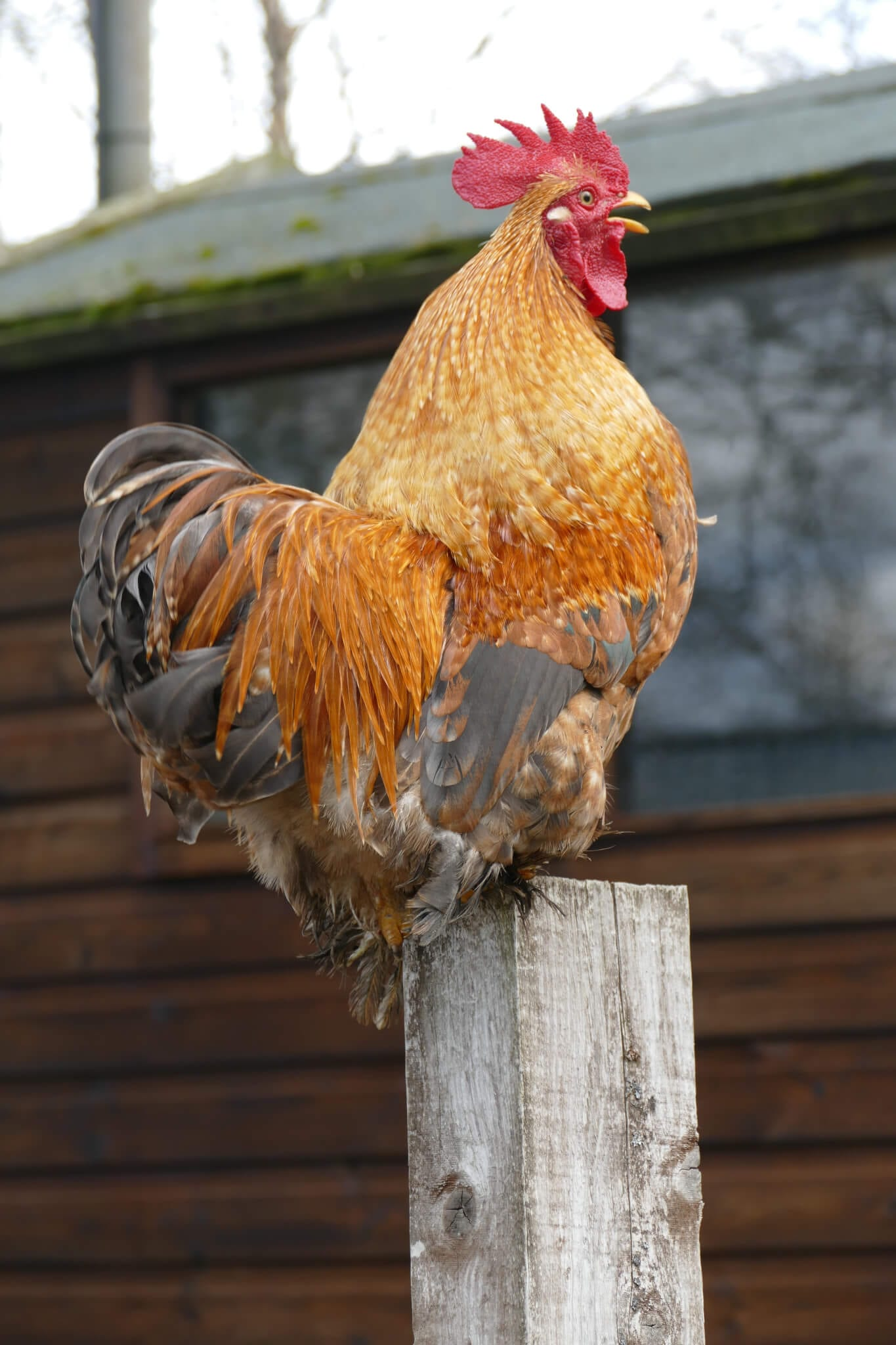Ferne Animal Sanctuary Cockerel on a fence post