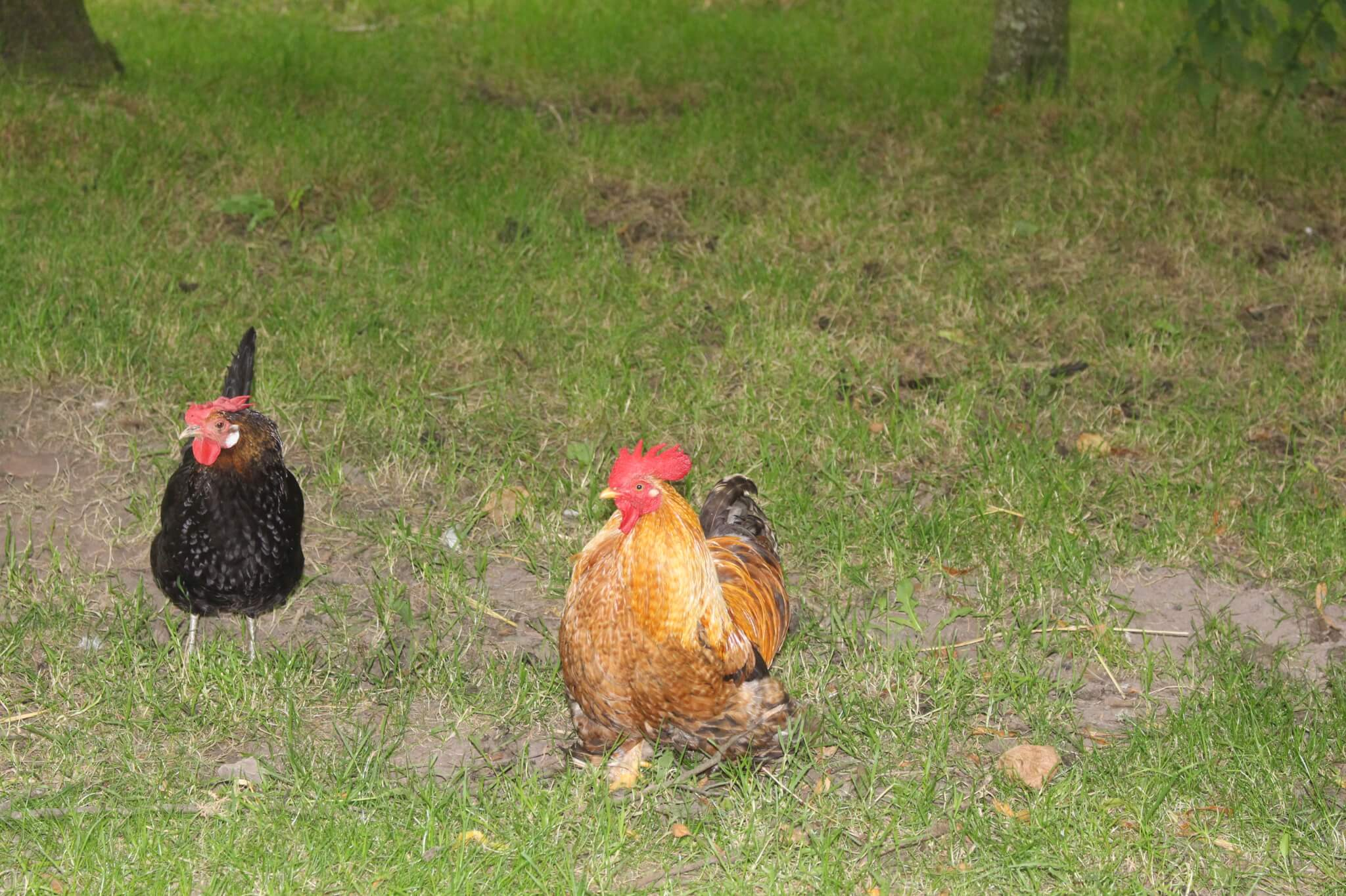 Ferne Animal Sanctuary A pair of chickens