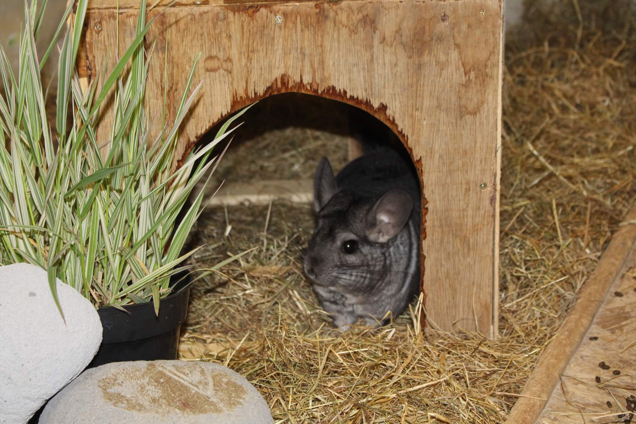 Ferne Animal Sanctuary chinchilla in his house