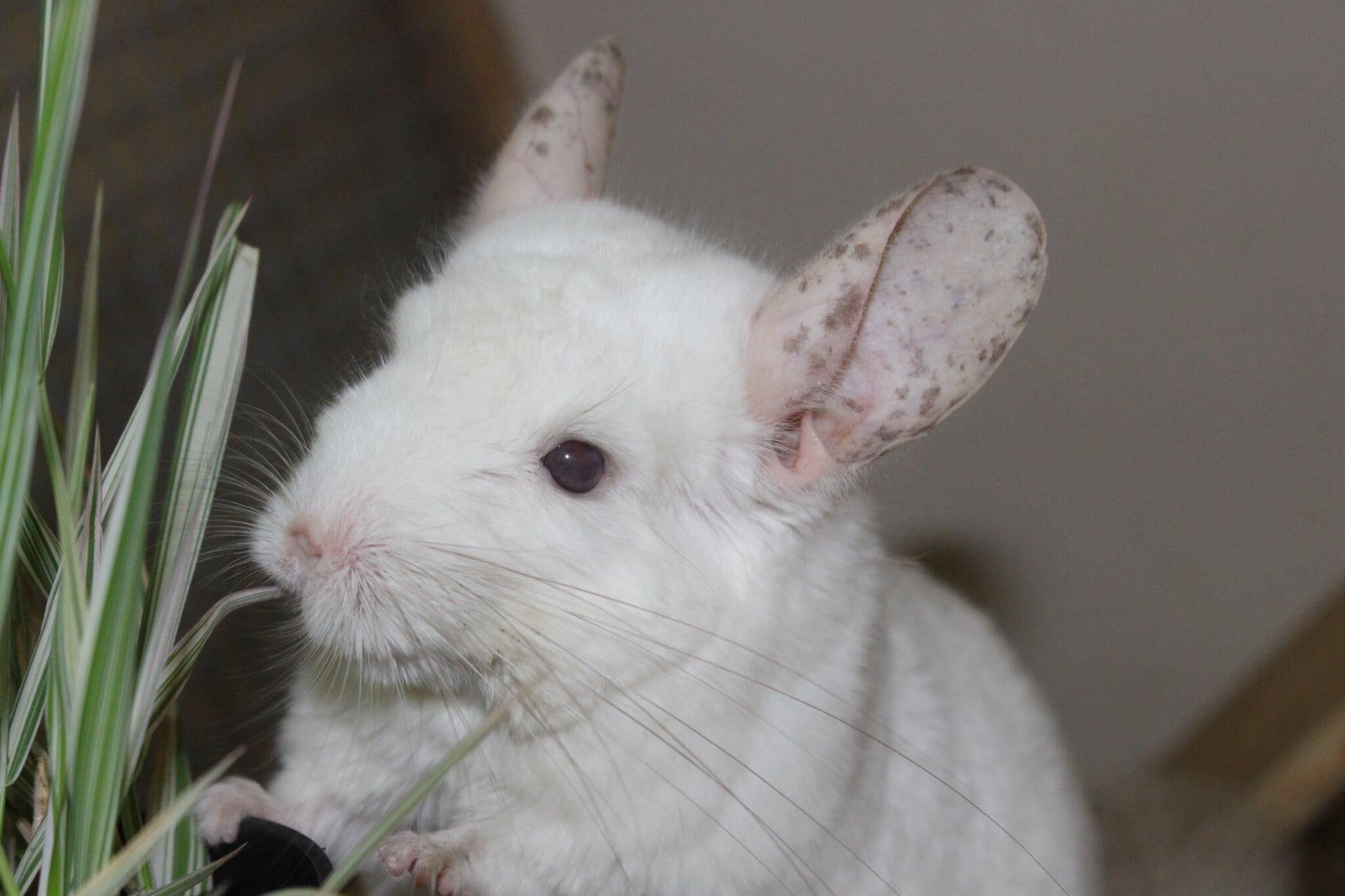 Ferne Animal Sanctuary chinchilla close-up