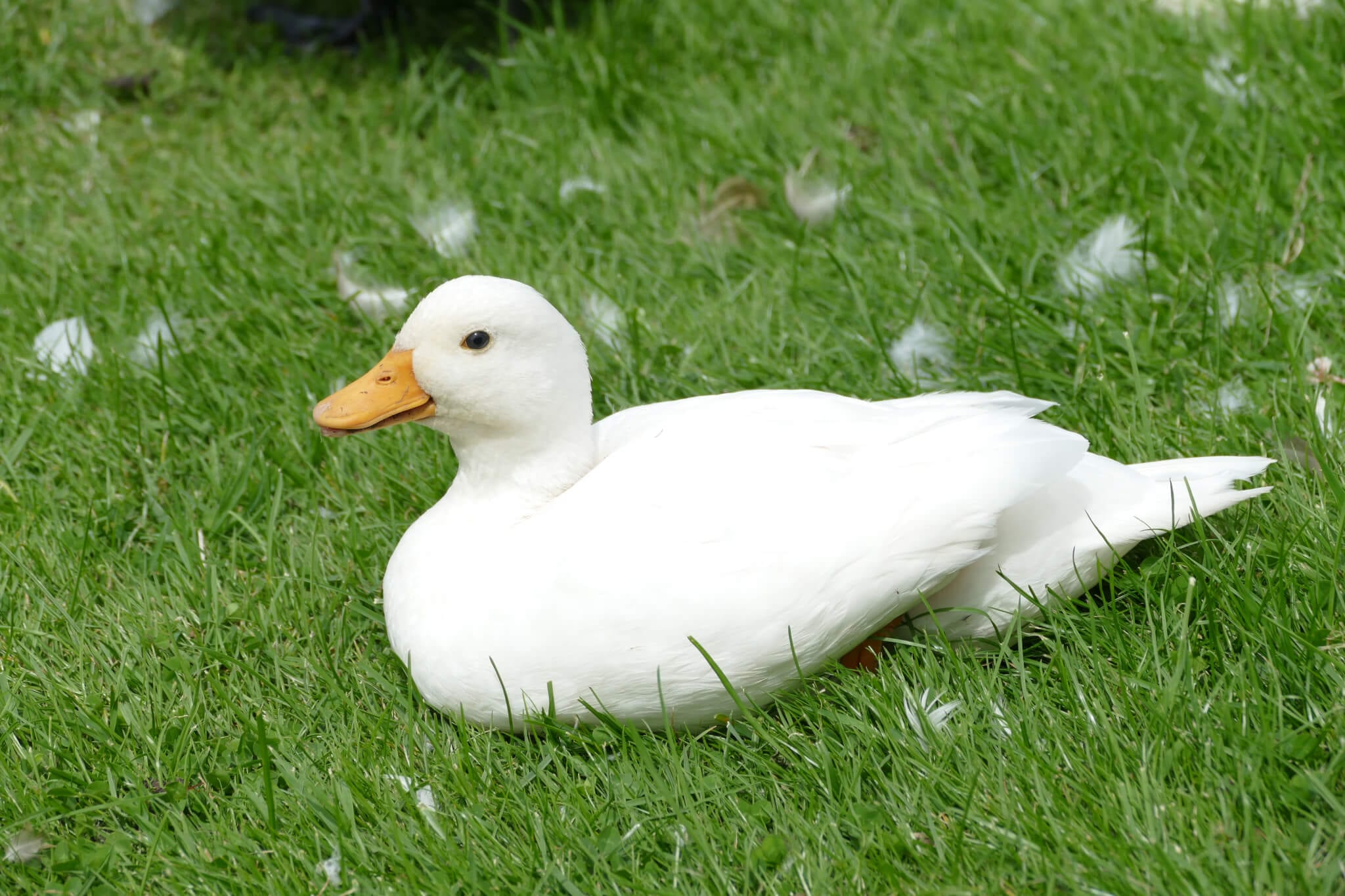 Ferne Animal Sanctuary white duck on the grass