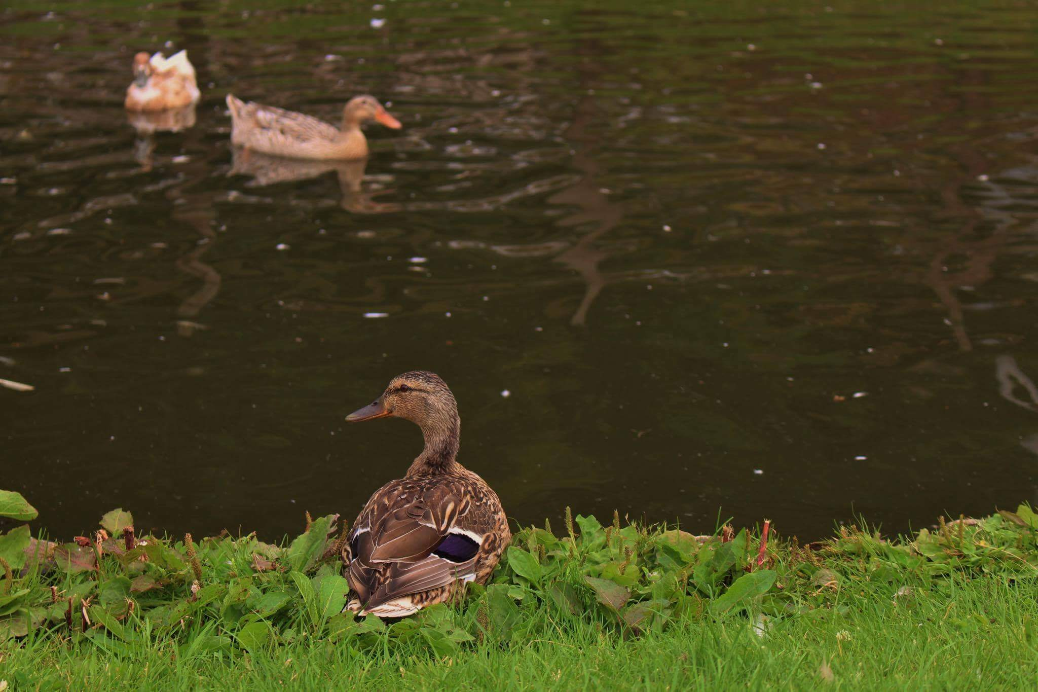 Ferne Animal Sanctuary ducks in and by a pond
