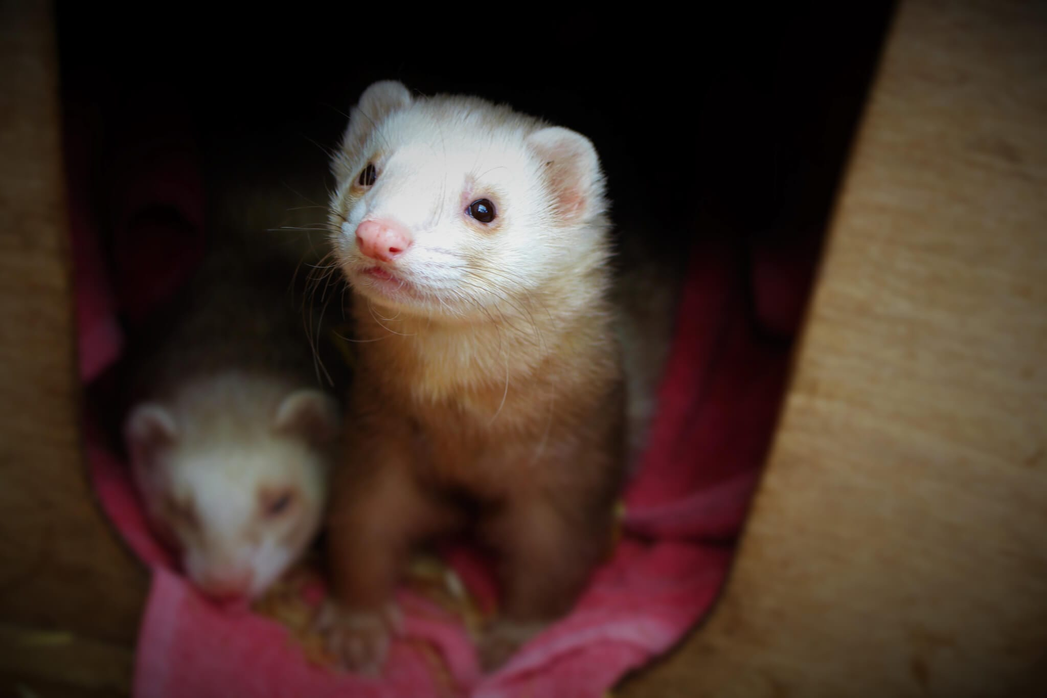 Ferne Animal Sanctuary ferrets at rest