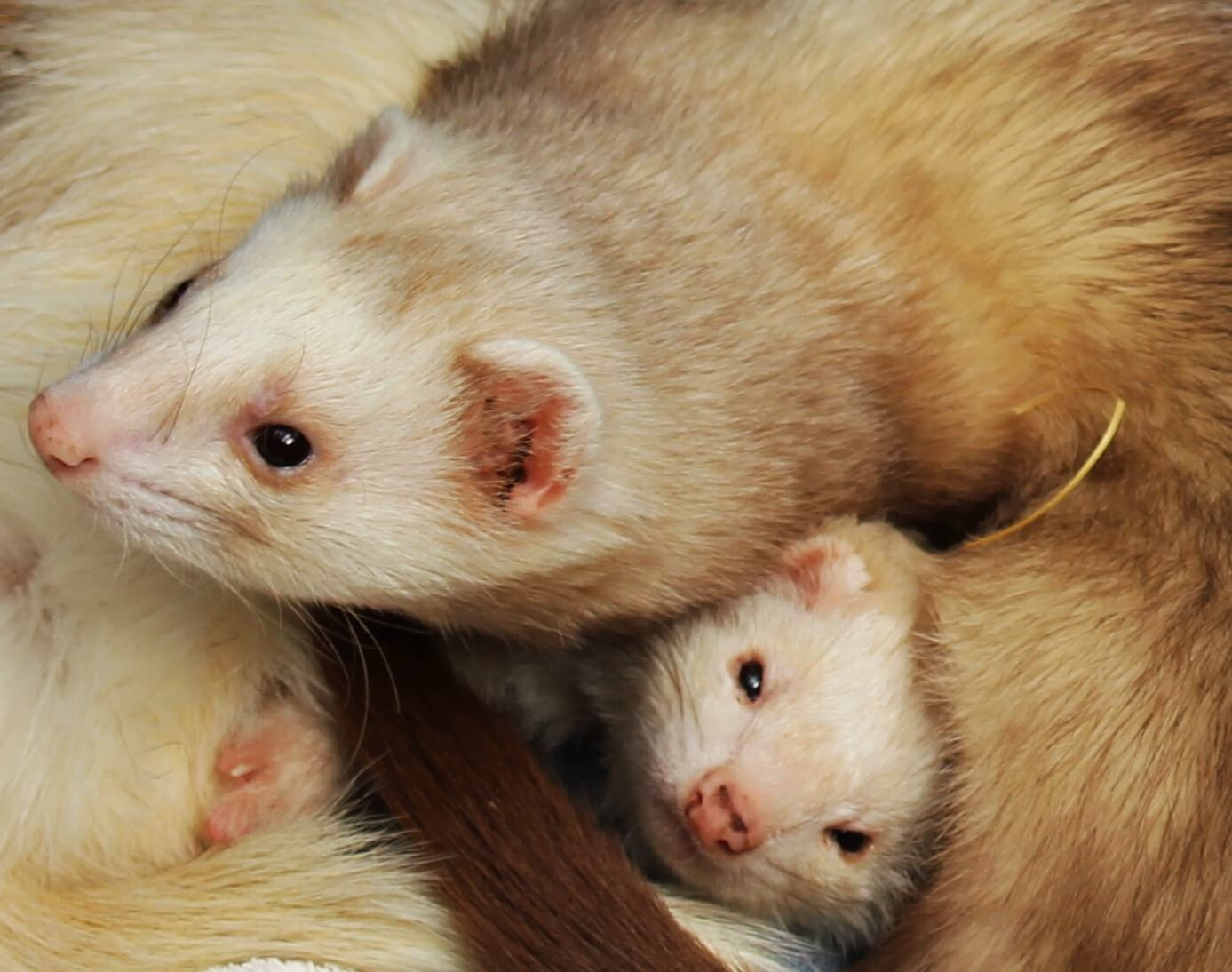 Ferne Animal Sanctuary group of ferrets