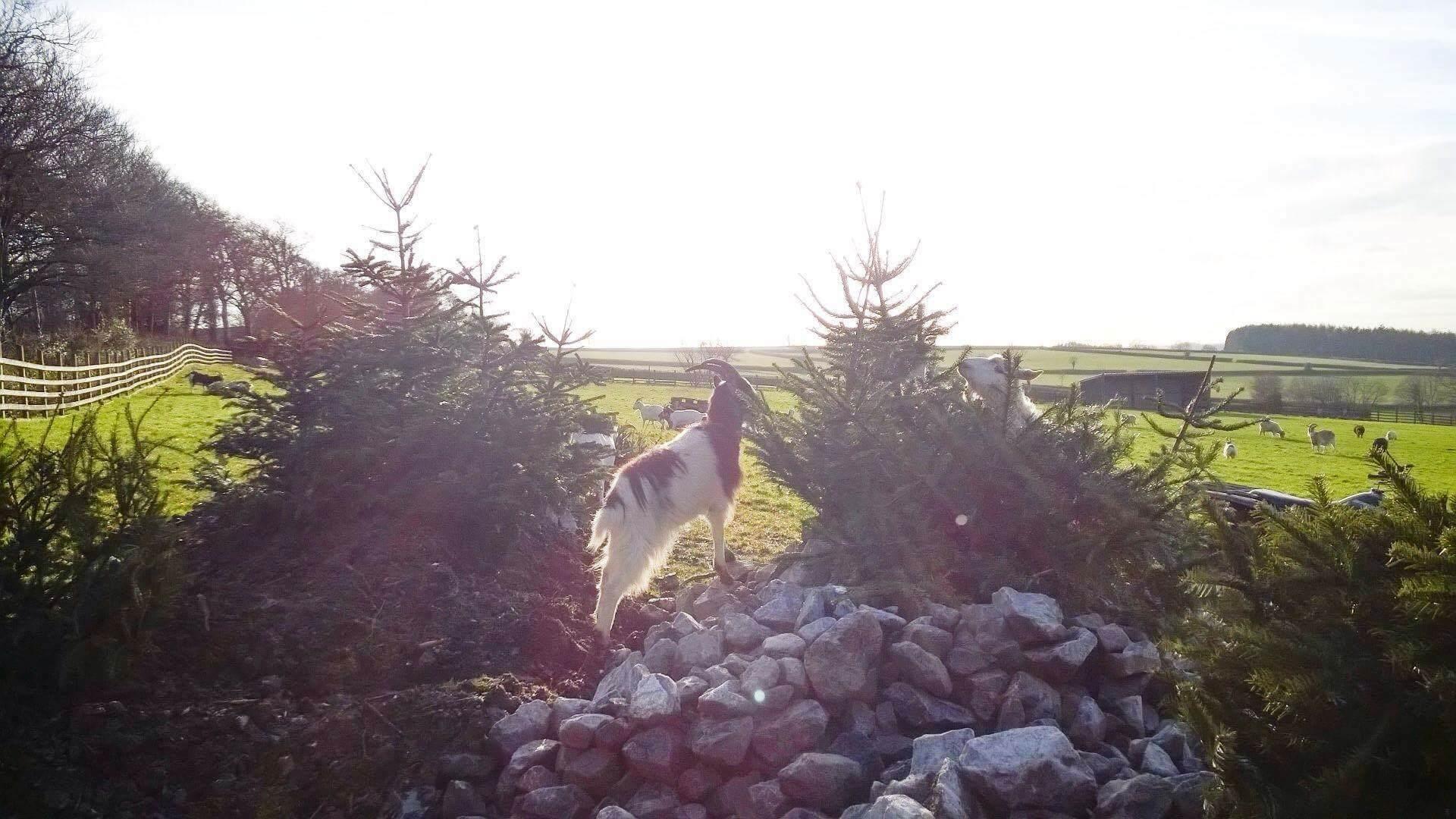 Ferne Animal Sanctuary mountain goat in the sun on rocks
