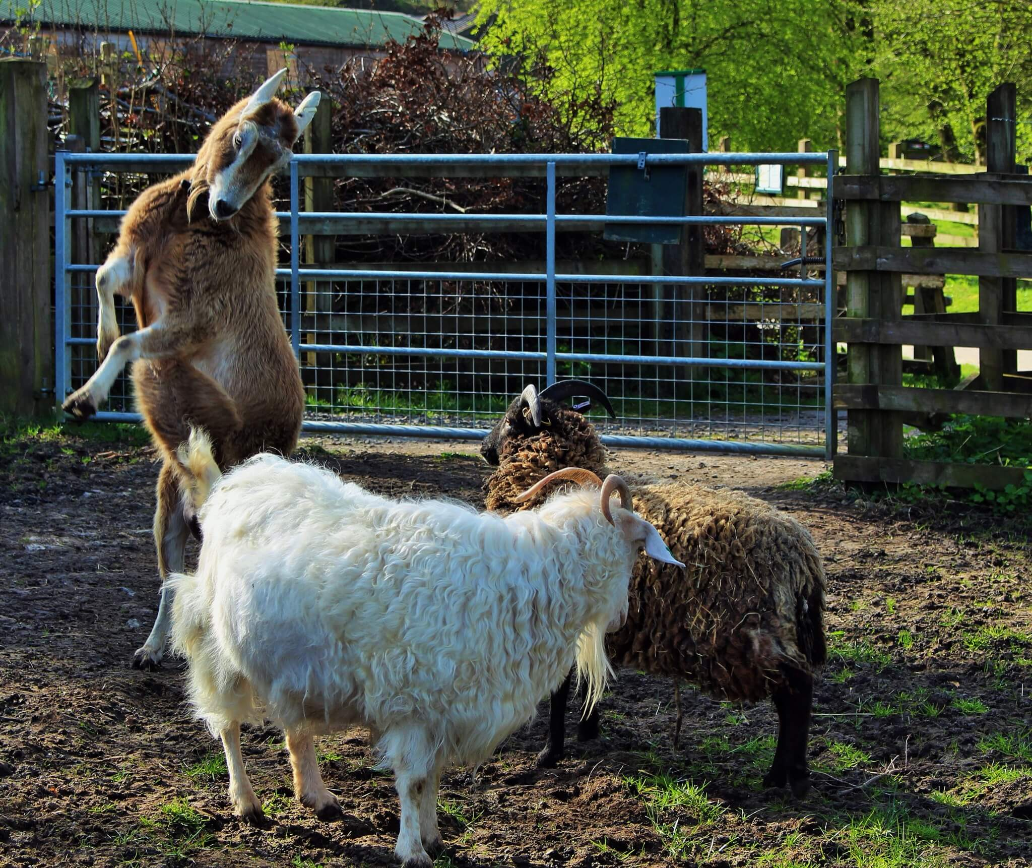 Ferne Animal Sanctuary three goats, one on hind legs