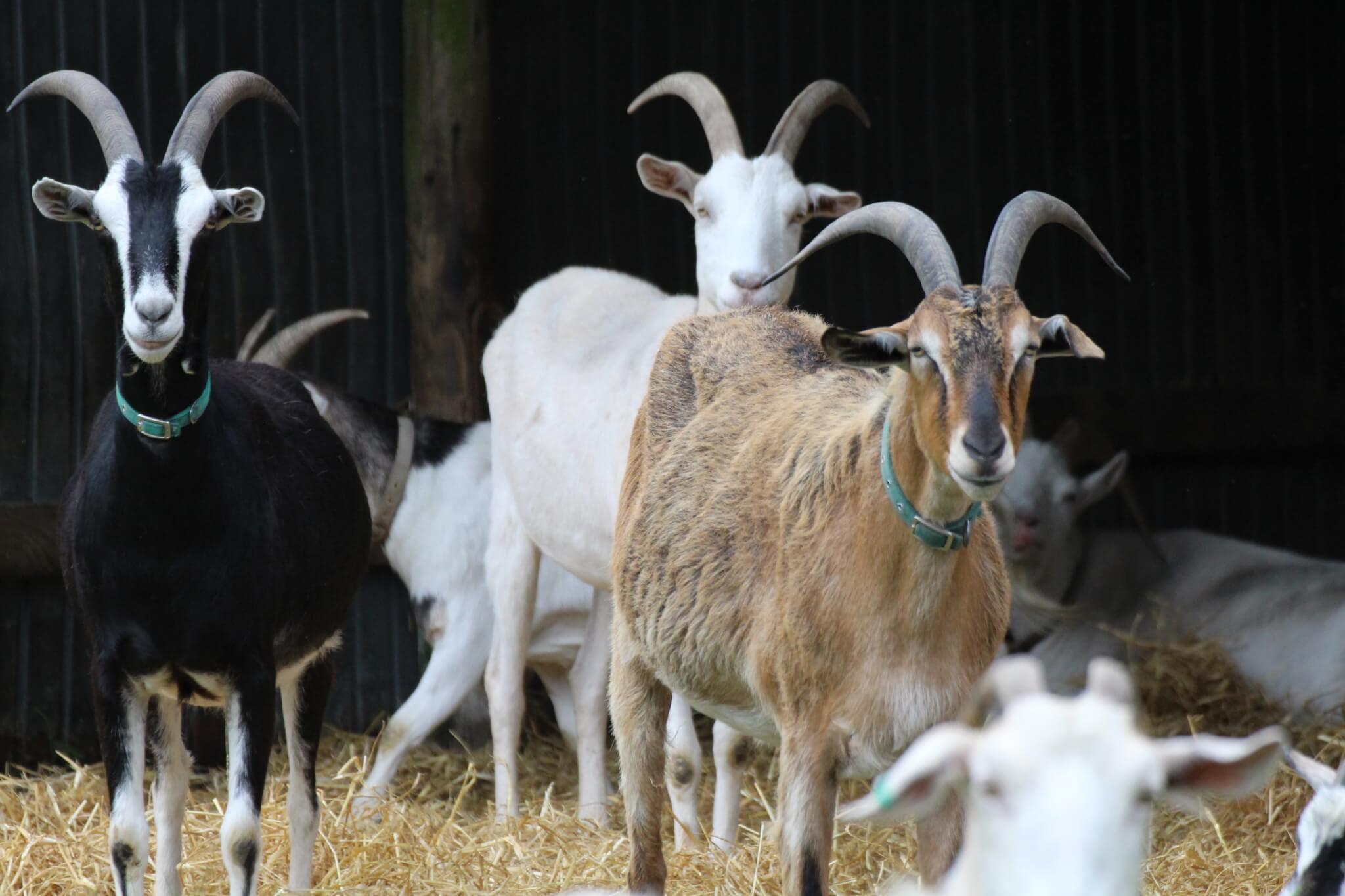 Ferne Animal Sanctuary group of goats
