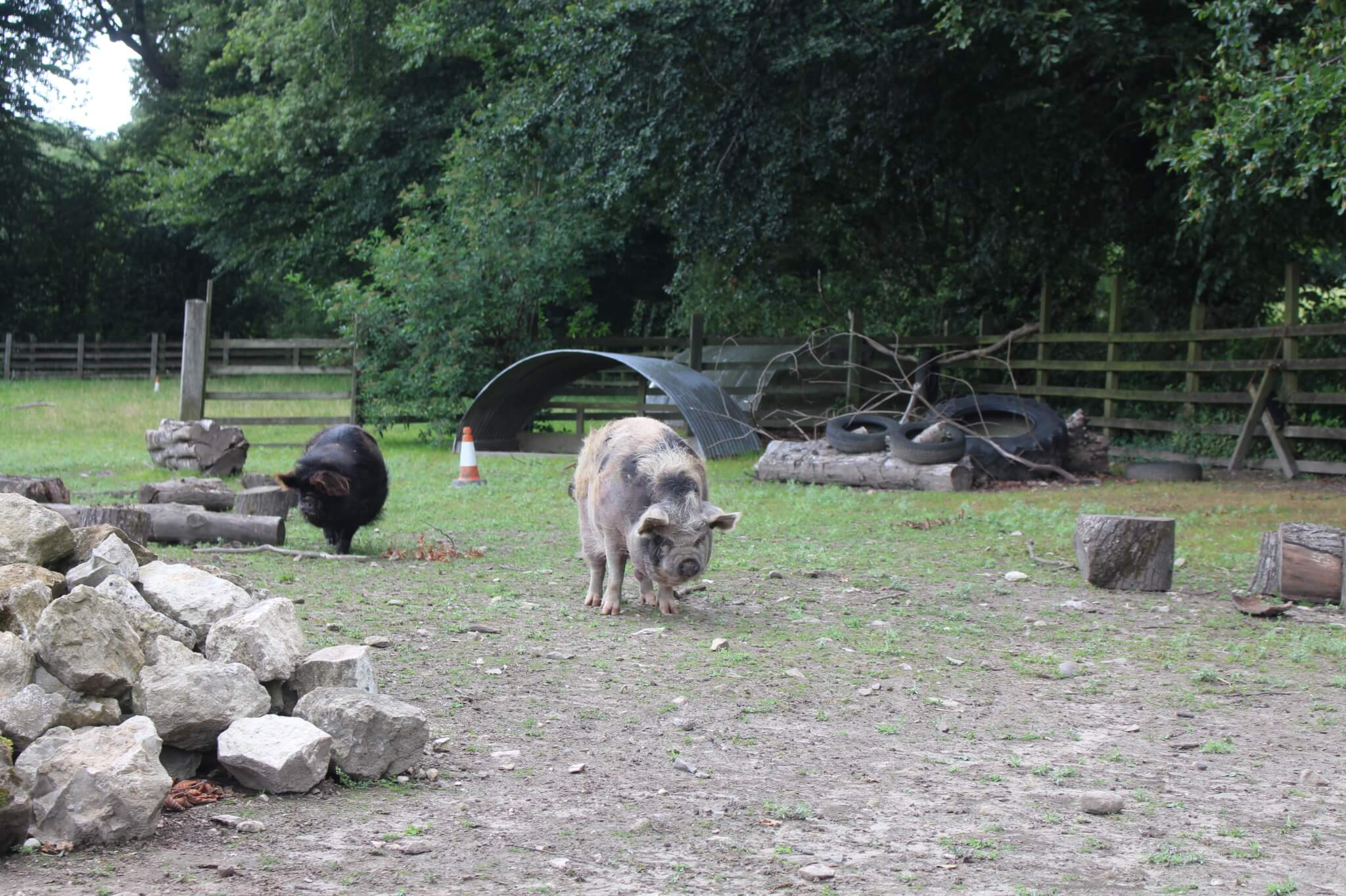 Ferne Animal Sanctuary Pigs foraging
