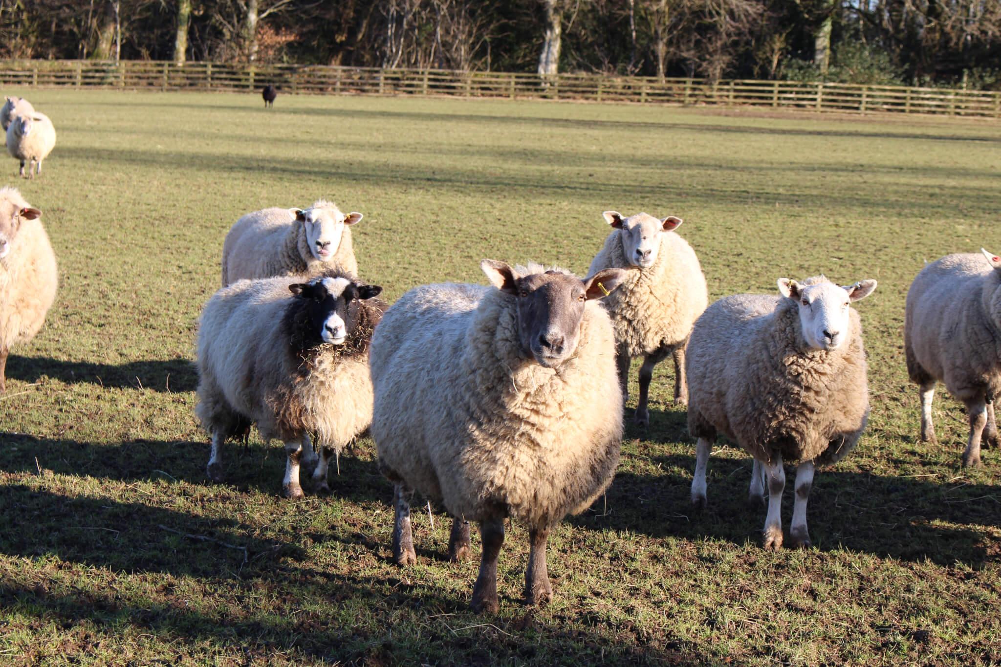 Ferne Animal Sanctuary Flock of sheep