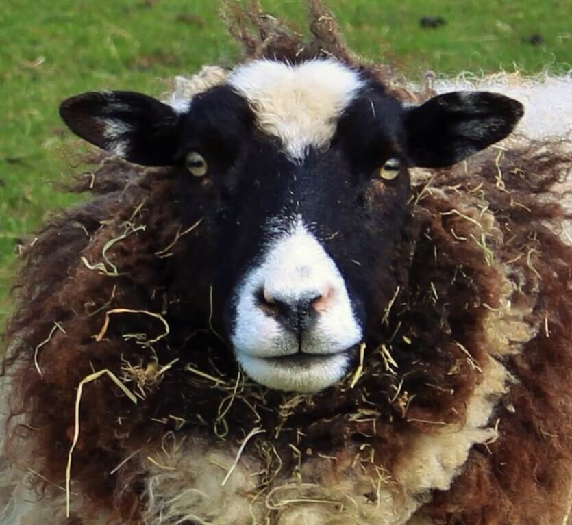 Ferne Animal Sanctuary Sheep covered in straw