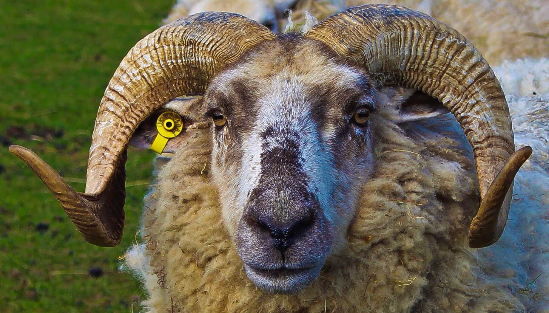 Ferne Animal Sanctuary Sheep close up!